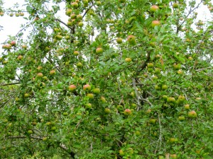 Abundant Sandow apples in our 2013 orchard.