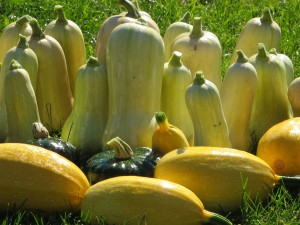 Organic squash from Sandow Farm